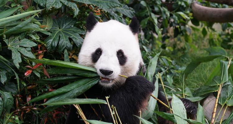 san diego cbc field trip panda zoo image