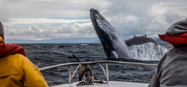 a whale jumps out of the water in front of a boat