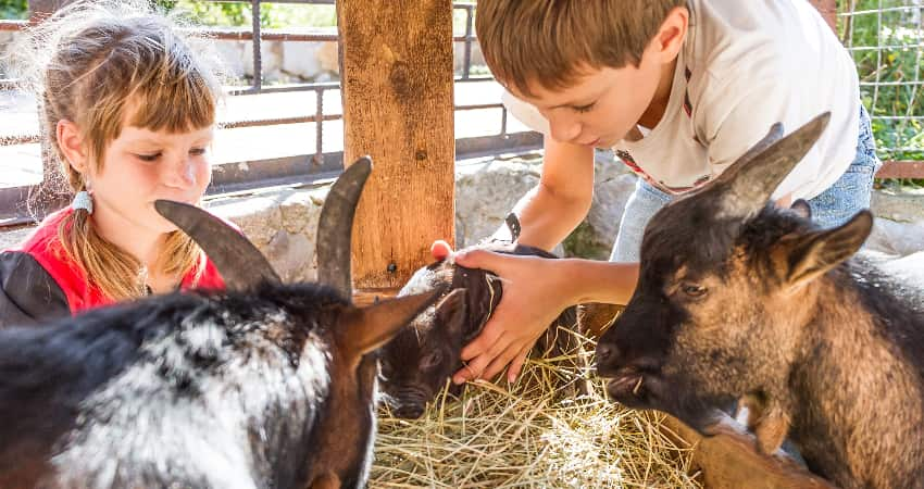 Two children pet goats and a baby pig at a living history park